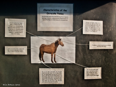 Our first stop is at the Ocracoke Pony Pen where a signboard provides information about these special ponies.