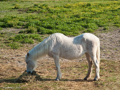 Ocracoke ponies have DNA matching that of Spanish Mustangs, therefore they have similar physical characteristics - amongst them...five lumbar vertebrae, instead of the usual six; 17 ribs instead of 18; and a unique shape.