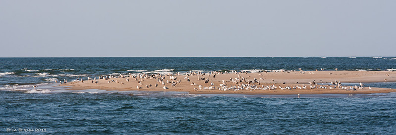 Gulls and terns find a resting spot on a sandbar.