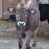 Sweet calf at Beach Hill Farm, Hopkinton, NH