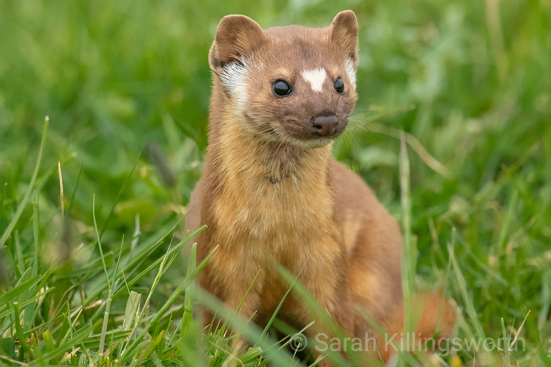 evening weasel