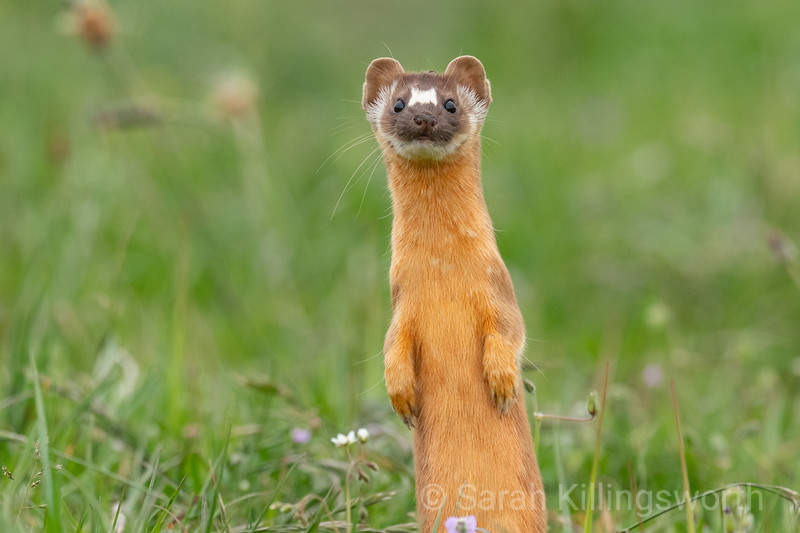 april weasel