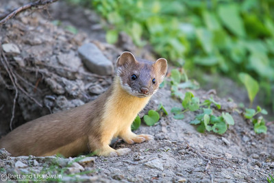 Long-tailed Weasel #2