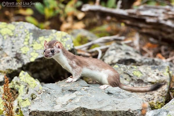 Short-tailed Weasel-Full Body