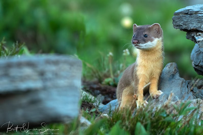 Juvenile Long-tailed Weasel