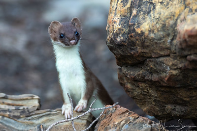 Up Close-Short-tailed Weasel