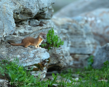 Juvenile Long-tailed Weasel in Its Environment