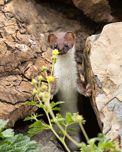 """Short-tailed Weasel Gives Me a Look"""