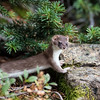Short-tailed Weasel-stretching it