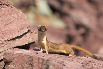 Long-tailed Weasel-Full Body Image
