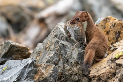Short-tailed Weasel with Prey #2