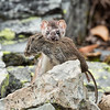 Short-tailed Weasel with Prey