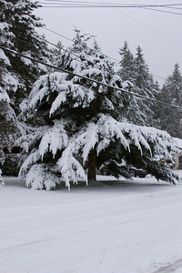 Snow covered tree.  View: Southwest, NE 193rd ST, near 3rd Ave NE. Photographed: 1-18-2012.