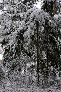 Backyard photo of the woods in my parent's yard.  Shoreline, Washington. Photographed: 1-17-2012.