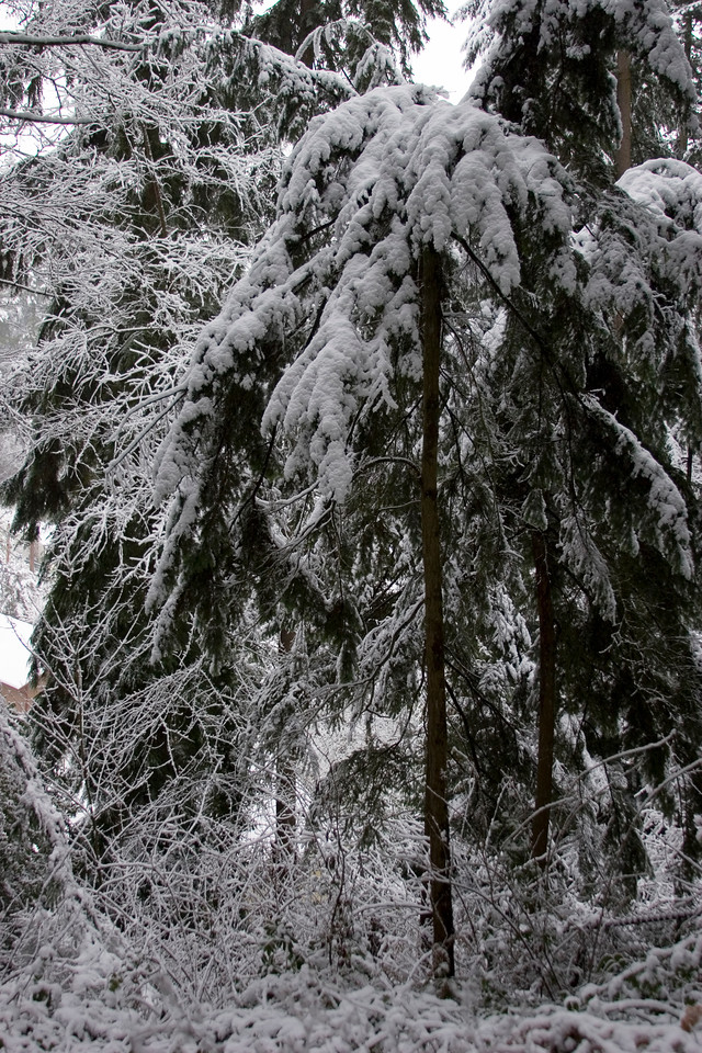 Backyard photo of the woods in my parent's yard.  Shoreline, Washington. Photographed: 1-17-2012.