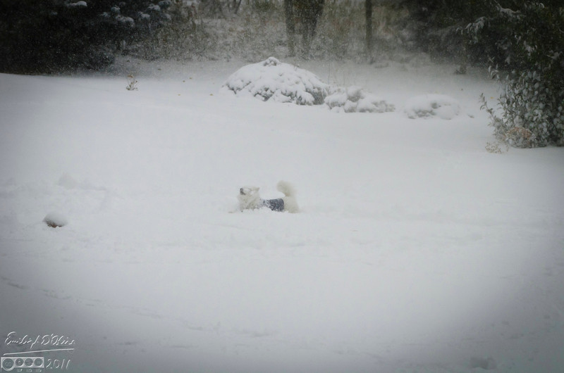 This is our neighbor's dog.  I don't know if he was unused to snow, or if he had been waiting for it all along.