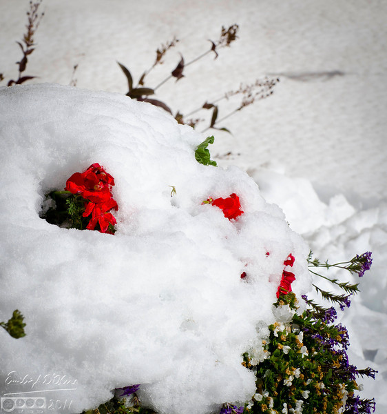 More flowerpots covered in snow.  These flowers mostly survived as well.