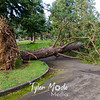 56  G Uprooted Pine Tree Officers Row