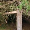 27  Snapped Tree NE 40th Ave and NE 49th Street V