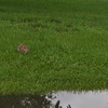 Bunny out for a stroll in flooded yard