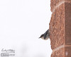 This nuthatch found shelter from the blowing snow hanging on to a sheltered area of the building.