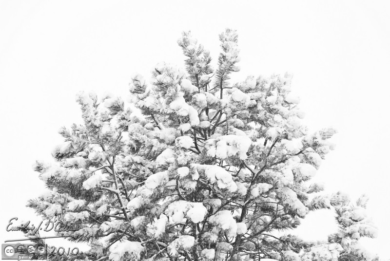 The obligatory Black and White treatment of a snow-covered evergreen.