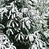 Winter snow highlights the marvelous textures the evergreens bestow.