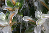 Cold Leaves<br /> Very cold air and an errant sprinkler coat hardy winter bushes in individually thick blankets of ice