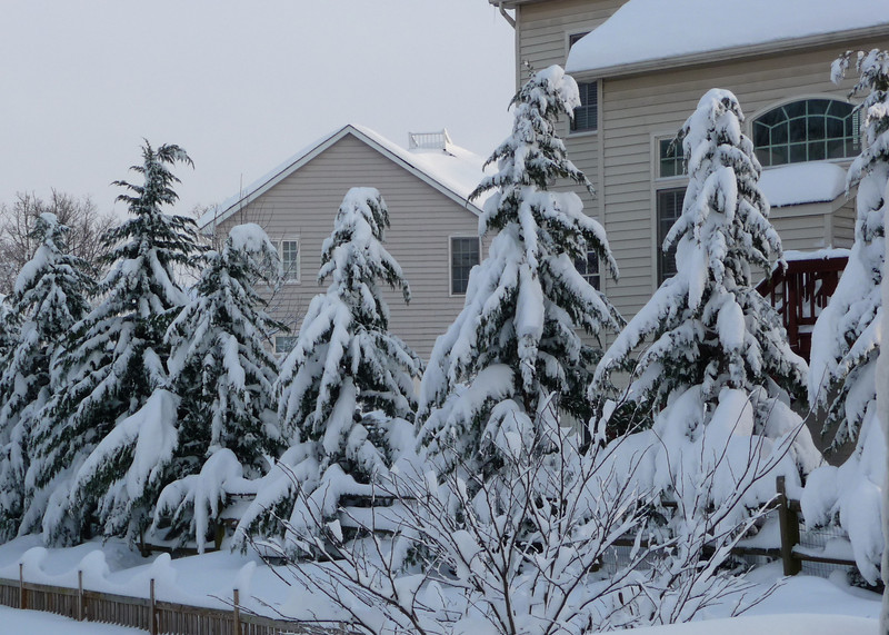 "The ""chorus line"" of evergreens along the rear of our backyard neighbor's house."