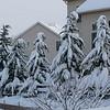 "The ""chorus line"" of evergreens along the rear of our backyard neighbor's house."