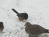 Towhee, Mourning Dove