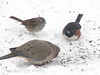 Towhee, Mourning Dove, White-throated Sparrow