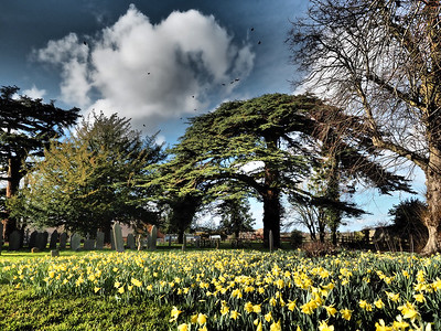 Daffodils and Cedar tree