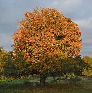 Golden Conker Tree