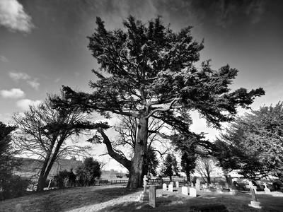 Scot Pine tree