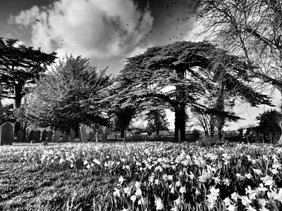 Daffodils and Cedar tree monochrome