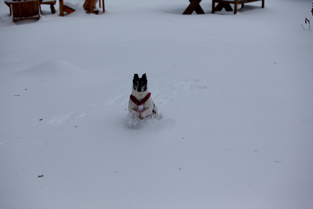 The dogs had to jump through the snow.those little legs just couldn't keep them above the snow.