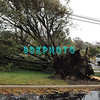 AFTER THE STORM - Tuesday 10/30/2012  The wind and rain are gone . . . and many trees, some larger than this one have been toppled.