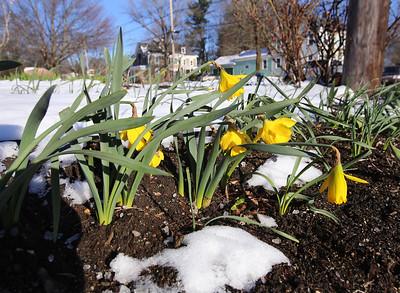 Daffodils in snow 040516
