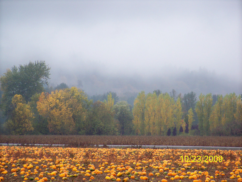 Lovely fall day in the Kent Valley pumpkin row....beautiful sight.......foggy day, crisp, orange pumpkins, colorful trees, clouds rolling in - perfect day for fall pics!
