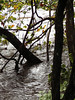 After some 18 inches of rain, a tree submerged near the Unionville bridge.