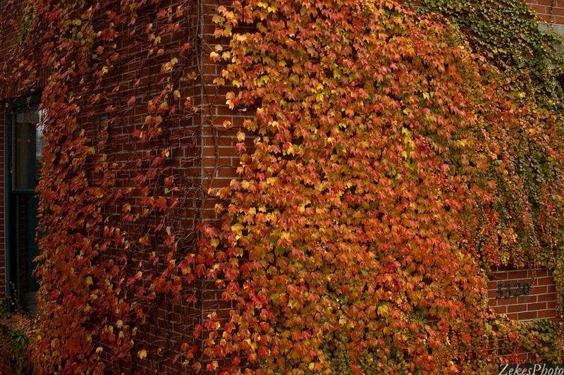Vine maple on red brick.