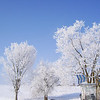 It's Odd to see Trees Dressed in White.