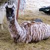 I'm Finally Getting a White Llama.