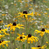 Brown-eyed Susans at Great Brook Farm State Park. (SUN/Julia Malakie)