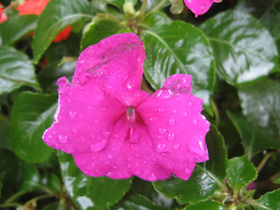 The same rain that brought the huge floods created delicate beauty on a New Guinea Impatiens blossom.  9-7-11