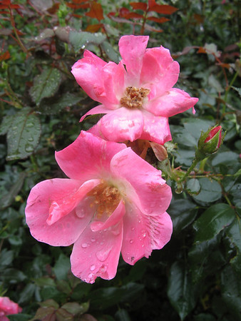 Another garden shrub covered with raindrops.   9-7-11
