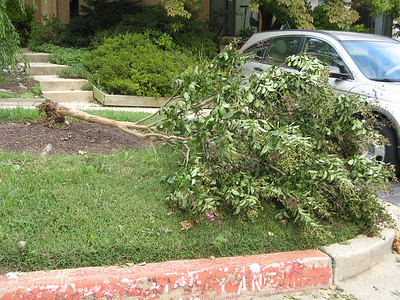 The poor crape myrtle.  8-27-11