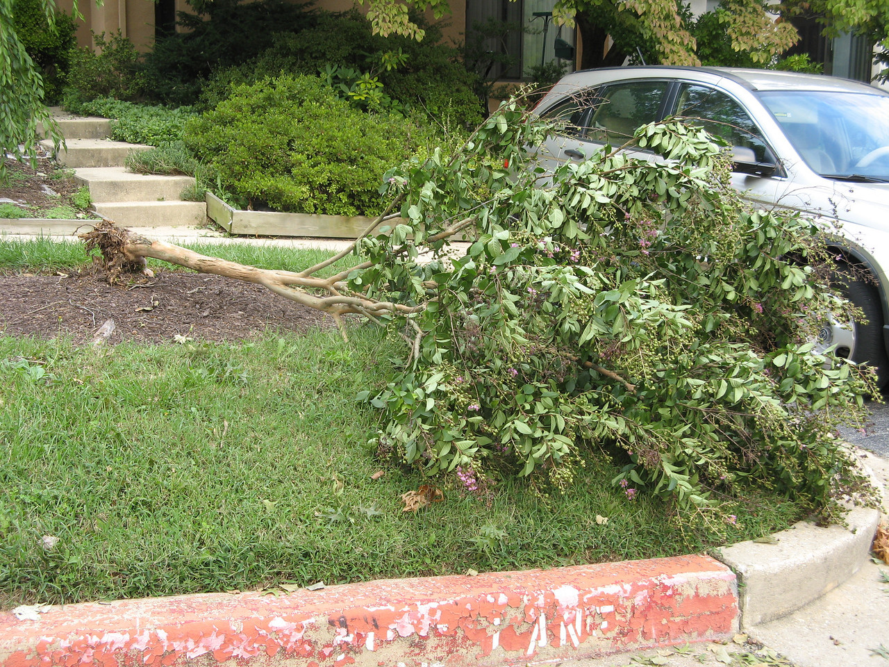 The poor crape myrtle.<br /> <br /> 8-27-11
