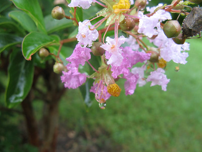 A raindrop still clings to the lowest bloom of this lovely crape myrtle cluster.  9-7-11